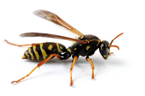 アシナガバチの画像 p1_13