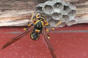 大きい蜂 種類