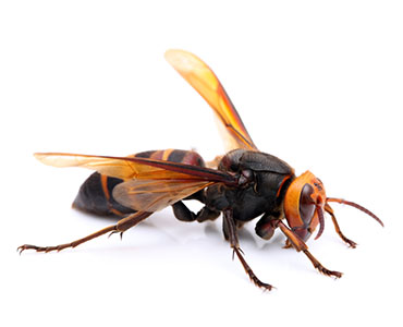 スズメバチの画像 p1_24