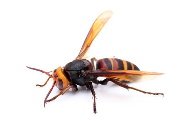 スズメバチの画像 p1_15