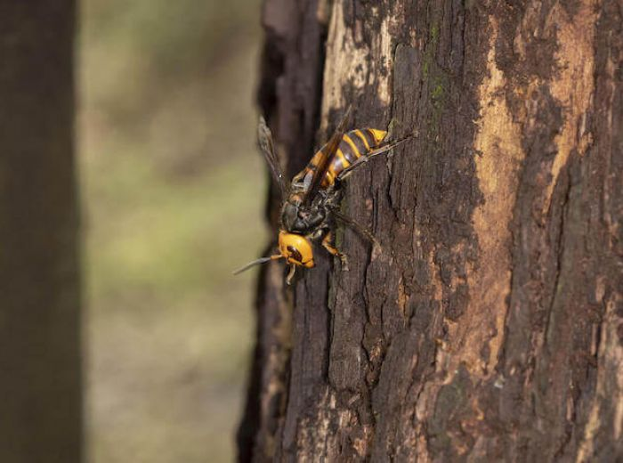 スズメバチ が 嫌い な 匂い